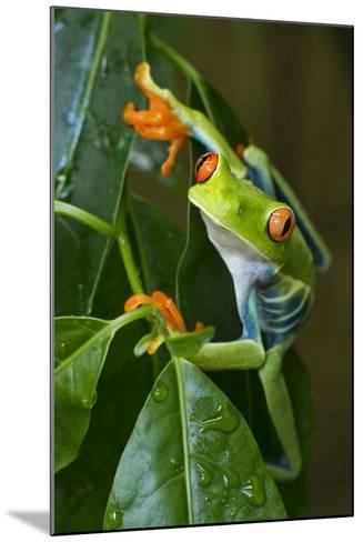 Red Eyed Tree Frog, Costa Rica--Mounted Photographic Print