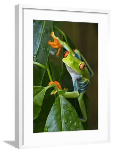 Red Eyed Tree Frog, Costa Rica--Framed Art Print