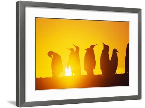 Silhouetted King Penguin Colony at Sunrise--Framed Art Print