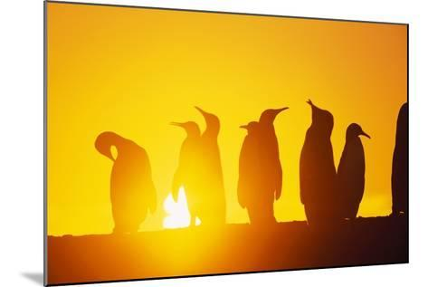 Silhouetted King Penguin Colony at Sunrise--Mounted Photographic Print
