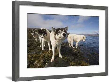 Sled Dogs in Sisimiut--Framed Art Print