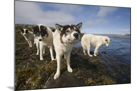 Sled Dogs in Sisimiut--Mounted Photographic Print