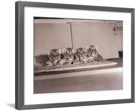 Tiger Cub Quadruplets at Bronx Zoo--Framed Art Print