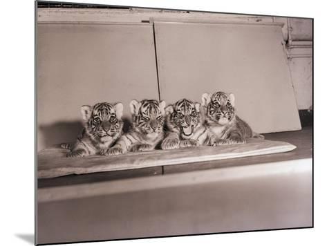 Tiger Cub Quadruplets at Bronx Zoo--Mounted Photographic Print