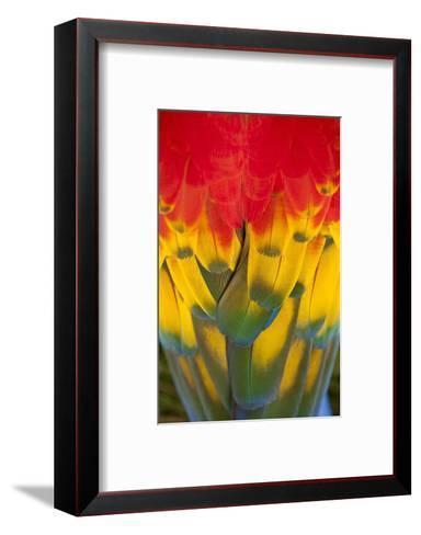 Scarlet Macaw, Costa Rica--Framed Art Print