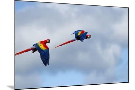 Scarlet Macaw, Costa Rica--Mounted Photographic Print