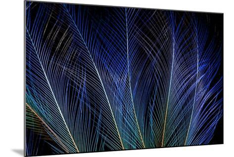 Display Feathers of Blue Bird of Paradise-Darrell Gulin-Mounted Photographic Print