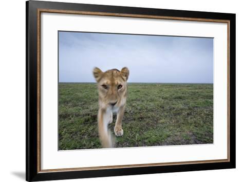Curious Lion--Framed Art Print
