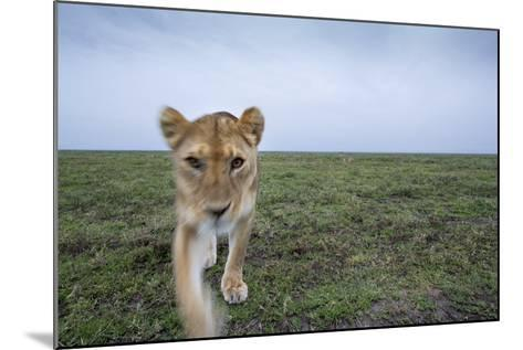 Curious Lion--Mounted Photographic Print