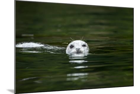 Harbor Seal, British Columbia, Canada--Mounted Photographic Print