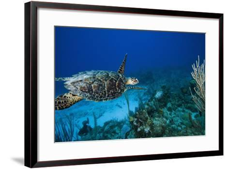 Hawksbill Turtle Swimming Above Reef--Framed Art Print