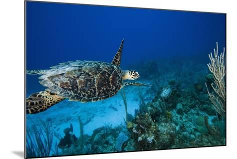 Hawksbill Turtle Swimming Above Reef--Mounted Photographic Print