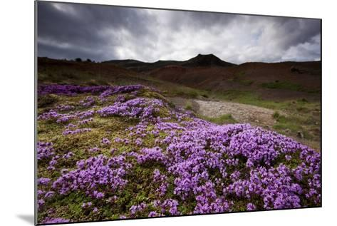Summer Wildflowers in Iceland--Mounted Photographic Print