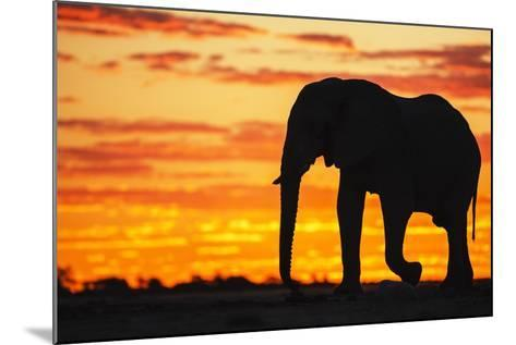 A Silhouette of a Large Male African Elephant Against a Golden Sunset-Jami Tarris-Mounted Photographic Print