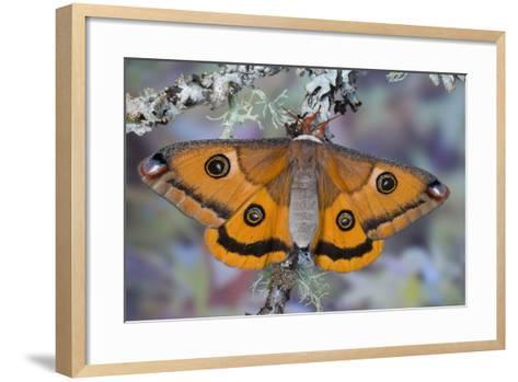 Calosaturnia Moth on Lichen-Covered Branch-Darrell Gulin-Framed Art Print