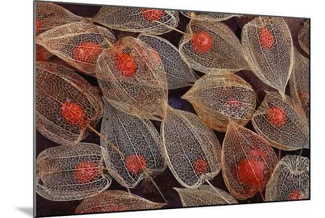 Fruits of a Chinese Lantern Plant-Darrell Gulin-Mounted Photographic Print