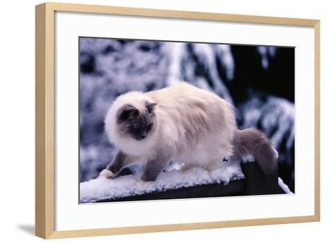 Ragdoll Cat on Fence-Darrell Gulin-Framed Art Print