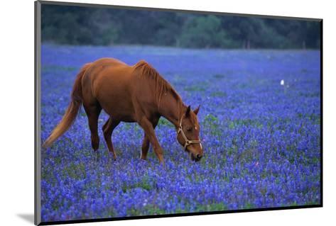 Horse Grazing Among Bluebonnets-Darrell Gulin-Mounted Photographic Print