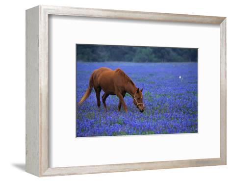 Horse Grazing Among Bluebonnets-Darrell Gulin-Framed Art Print
