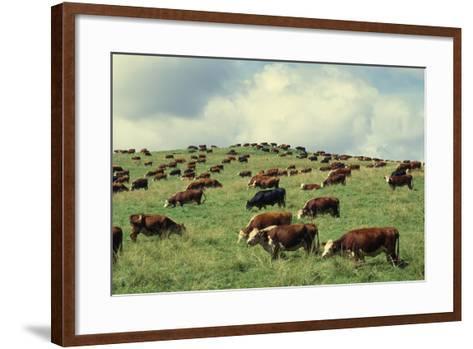 Hereford Cattle Grazing on Hill-James Randklev-Framed Art Print