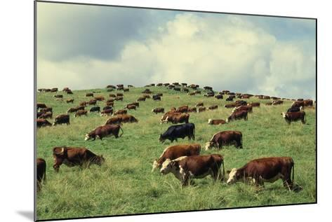 Hereford Cattle Grazing on Hill-James Randklev-Mounted Photographic Print