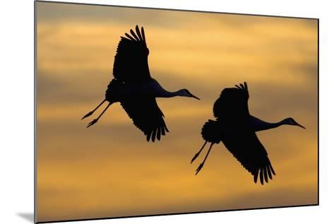 Silhouettes of Two Sandhill Cranes-Darrell Gulin-Mounted Photographic Print