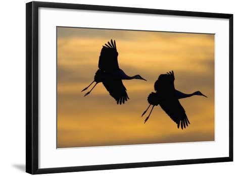 Silhouettes of Two Sandhill Cranes-Darrell Gulin-Framed Art Print