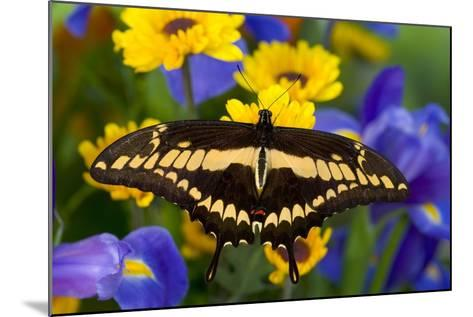 Thoas Swallowtail Resting on Irises and Daisies-Darrell Gulin-Mounted Photographic Print