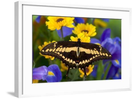 Thoas Swallowtail Resting on Irises and Daisies-Darrell Gulin-Framed Art Print