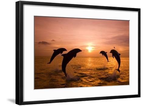 Bottlenosed Dolphins Jumping-Craig Tuttle-Framed Art Print