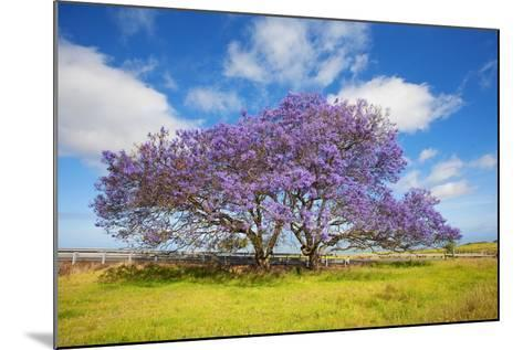 Jacaranda Trees in Bloom in the Up-Country on Maui-Ron Dahlquist-Mounted Photographic Print