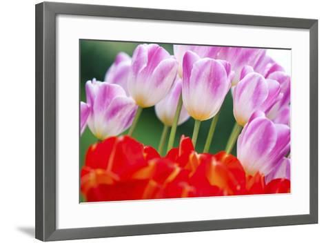 Tulips in Spring-Craig Tuttle-Framed Art Print