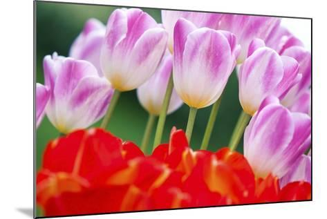 Tulips in Spring-Craig Tuttle-Mounted Photographic Print