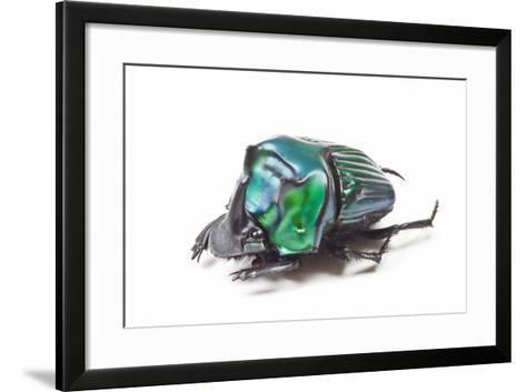 Scarabidae Beetle from Peru Oxysternus Selenium-Darrell Gulin-Framed Art Print