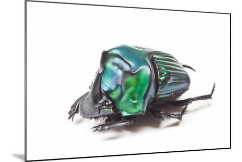 Scarabidae Beetle from Peru Oxysternus Selenium-Darrell Gulin-Mounted Photographic Print