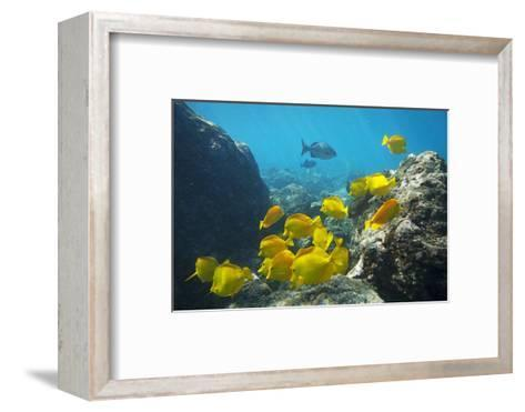 School of Yellow Tang Nderwater Near La Perousse, Makena, Maui, Hawaii-Ron Dahlquist-Framed Art Print