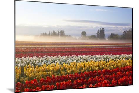 Sunrise over Tulip Field, Wooden Shoe Tulip Farm, Woodburn, Oregon-Craig Tuttle-Mounted Photographic Print