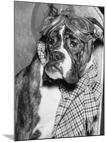 Cute Wrinkled Boxer Dog Dressed-Up in Checked Scarf and Goggles--Mounted Photographic Print