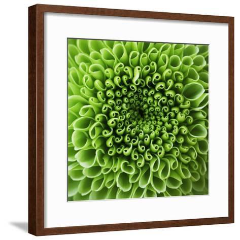 GREEN SHAMROCK CHRYSANTHEMUM-Clive Nichols-Framed Art Print