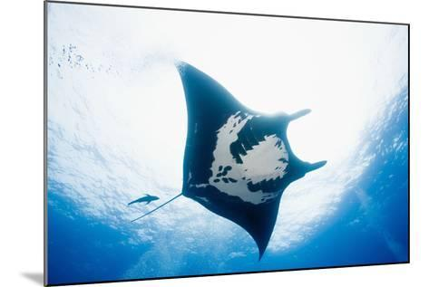 Manta Ray-Stuart Westmorland-Mounted Photographic Print
