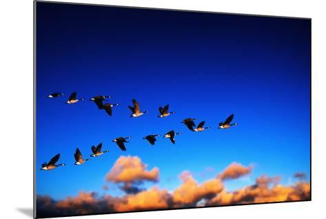 Canada Geese Flying at Sunrise-Chase Swift-Mounted Photographic Print