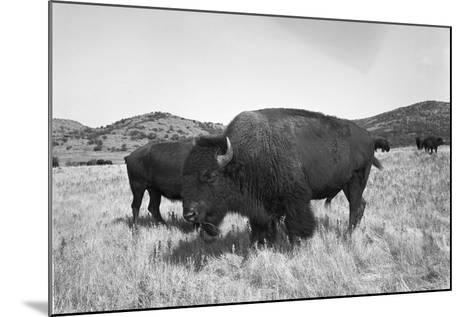 Bison in Wildlife Refuge-Philip Gendreau-Mounted Photographic Print