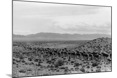Cattle Drive through Desert-Hutchings, Selar S.-Mounted Photographic Print