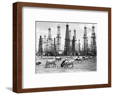 Cows Grazing near Oil Wells--Framed Art Print