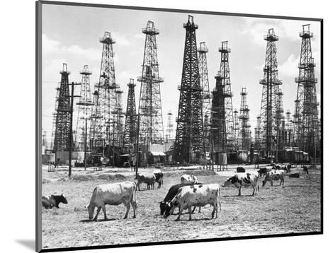 Cows Grazing near Oil Wells--Mounted Photographic Print