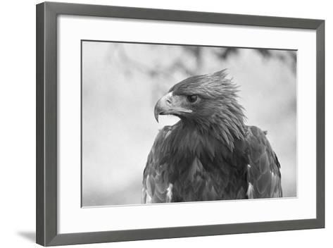 Head of a Golden Eagle--Framed Art Print