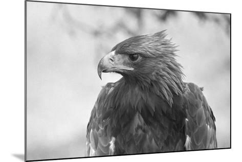 Head of a Golden Eagle--Mounted Photographic Print