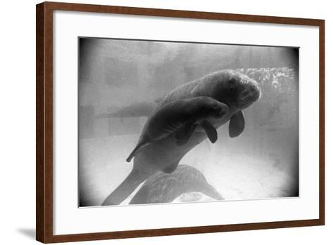 Manatee Mother and Newborn Swimming--Framed Art Print