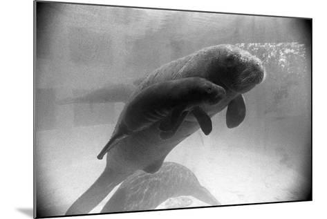 Manatee Mother and Newborn Swimming--Mounted Photographic Print