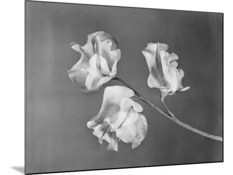 Close View of Sweet Peas-Philip Gendreau-Mounted Photographic Print